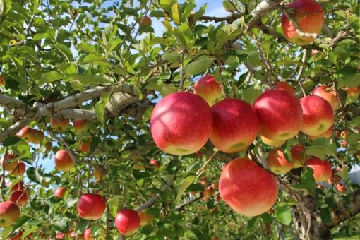 制作実績:長野市りんご農園